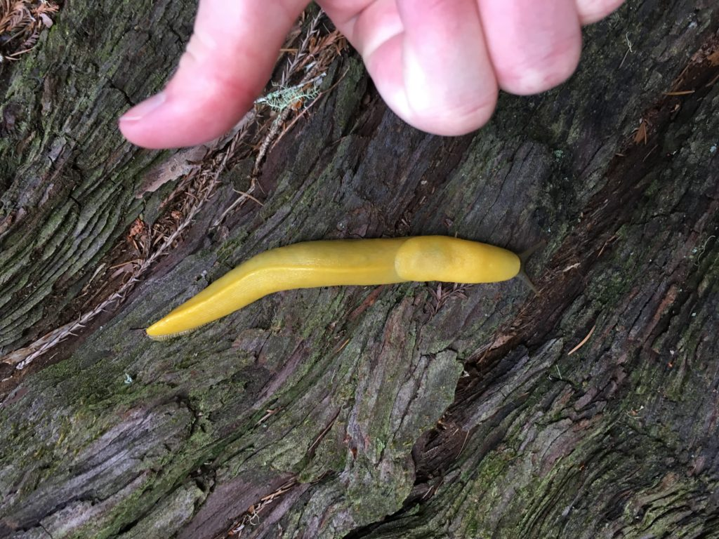 Banana Slug at Big Basin State Park